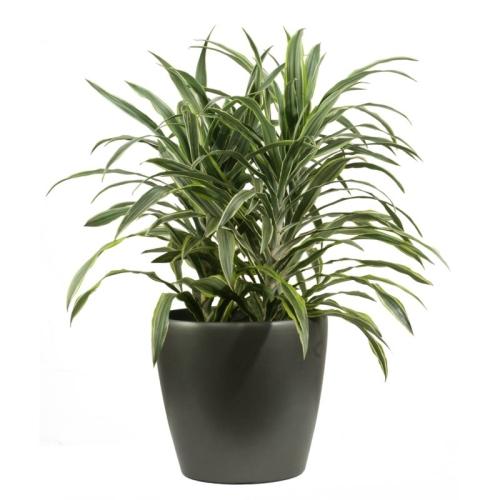 ficus rubber plantscape interiors