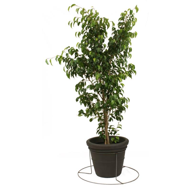 Ficus Exotica Plantscape Interiors